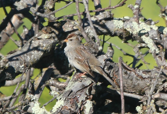 White-crowned Sparrow (Gambel's)