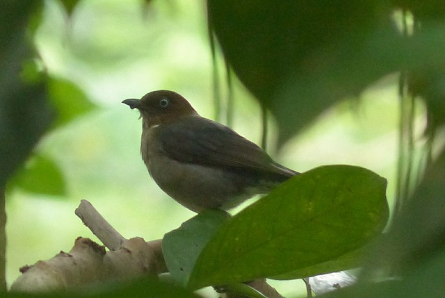 White-eyed Thrush