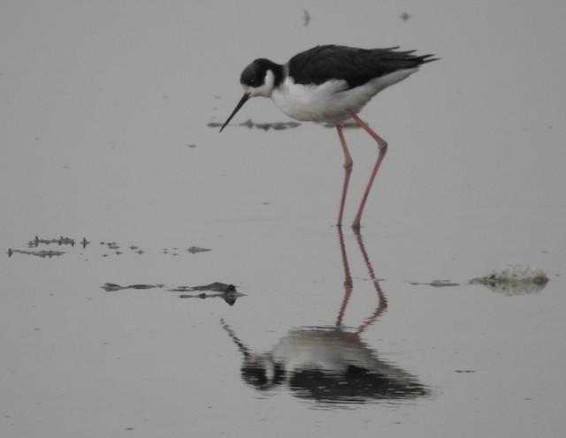 Black-necked Stilt (White-backed)