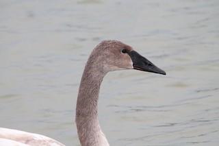 Trumpeter Swan, ML138552701
