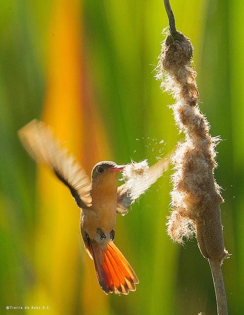 Cinnamon Hummingbird (Mainland)