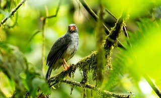 - Plumbeous Forest-Falcon