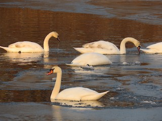 Mute Swan, ML138834511