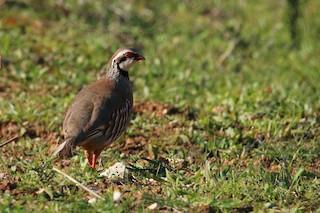 Red-legged Partridge, ML139108431