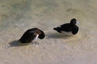 Tufted Duck, ML139108721