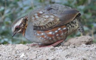 Rufous-throated Partridge, ML139220551