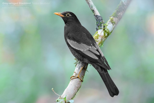 Gray-winged Blackbird