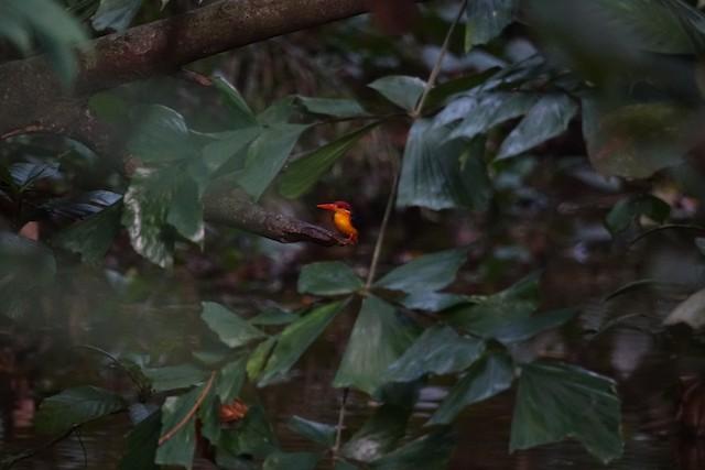 Black-backed Dwarf-Kingfisher