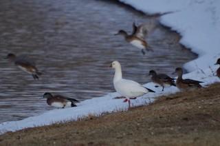 Ross's Goose, ML139412351