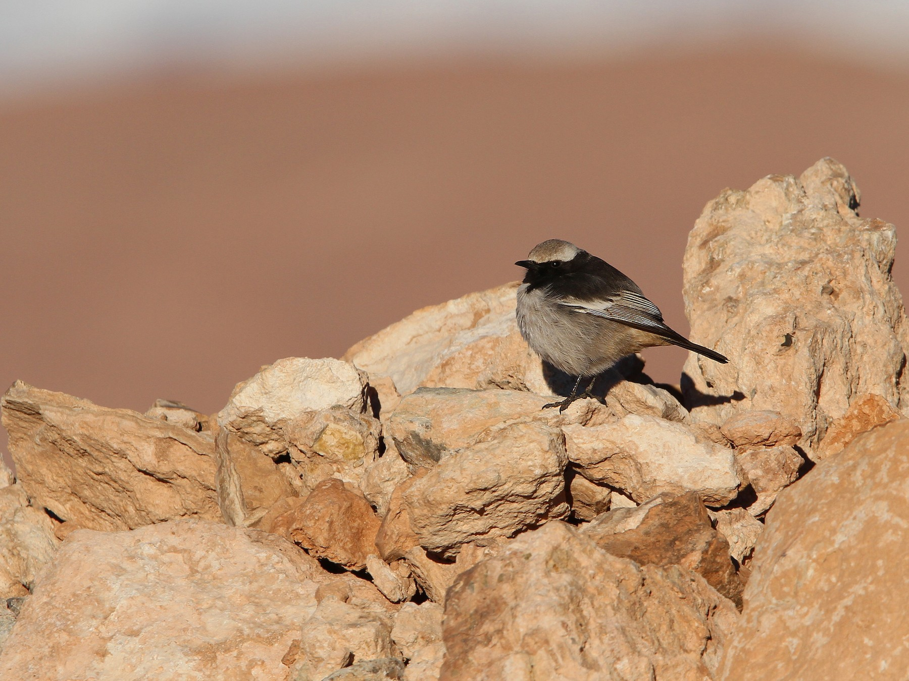 Red-rumped Wheatear - Christoph Moning