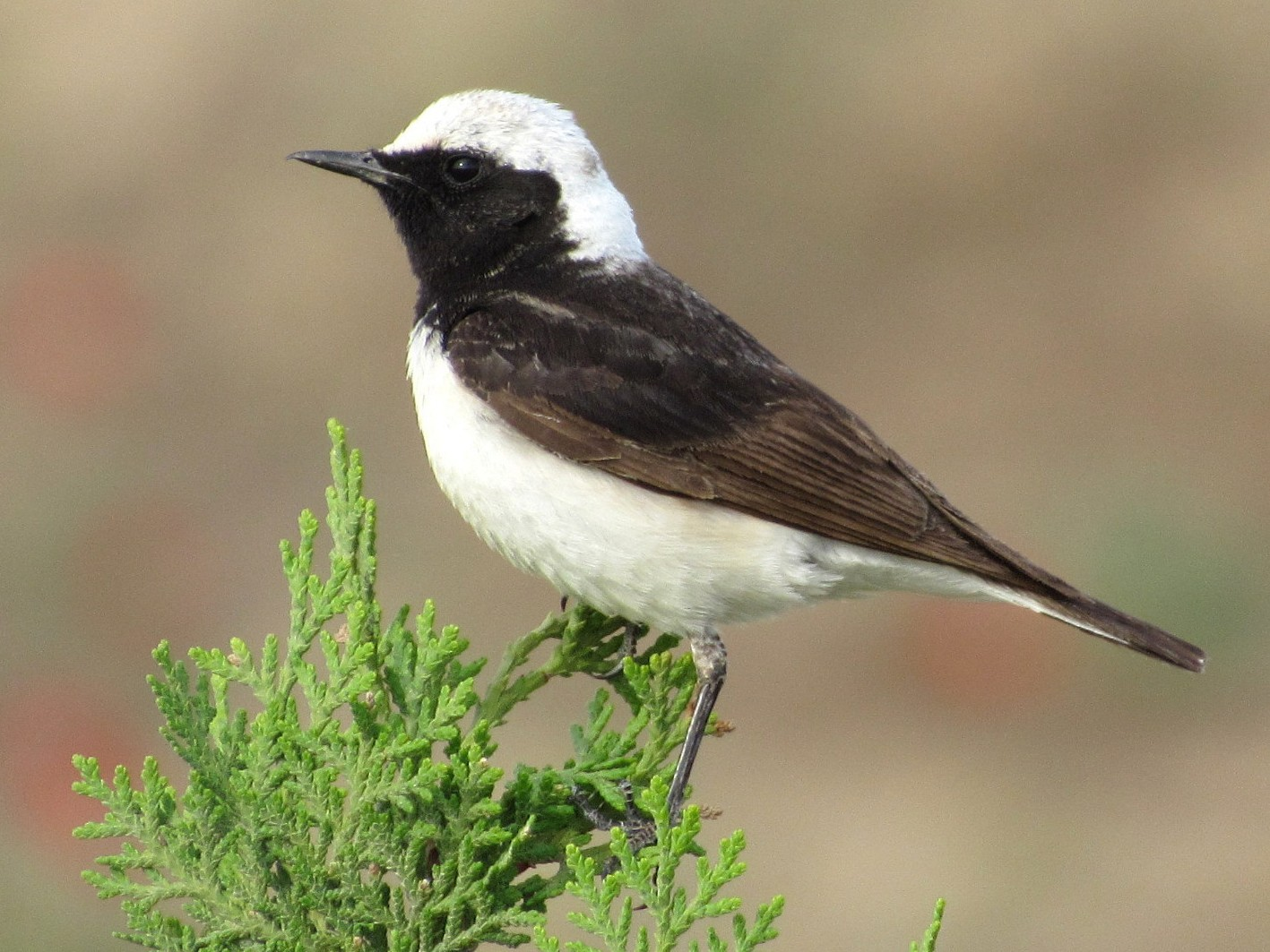 Pied Wheatear - Mark Chao