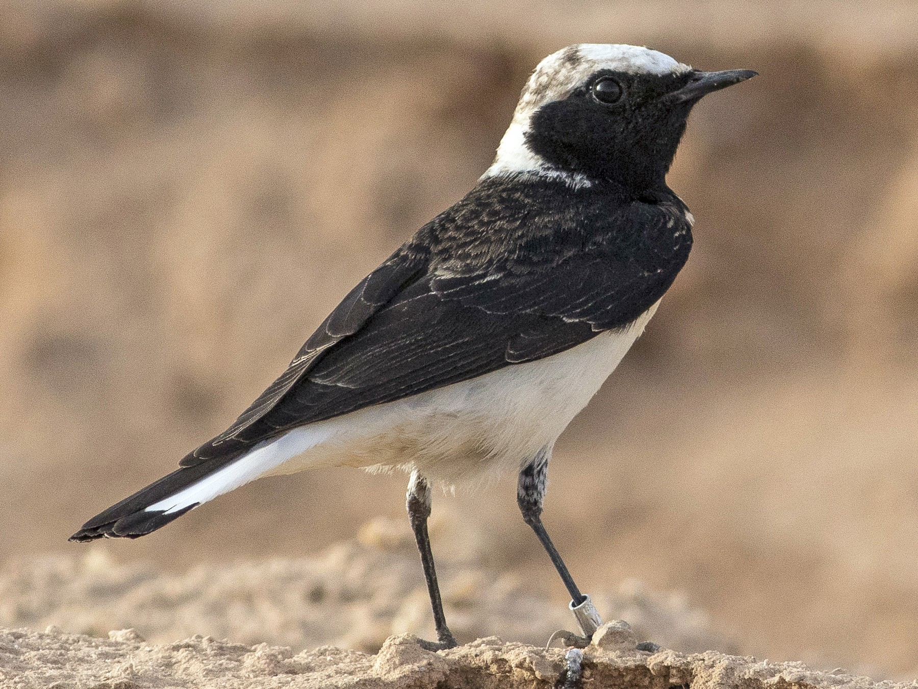 Pied Wheatear - Jacob Drucker