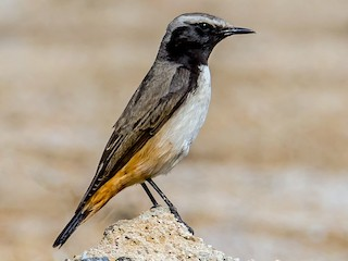 - Kurdish Wheatear