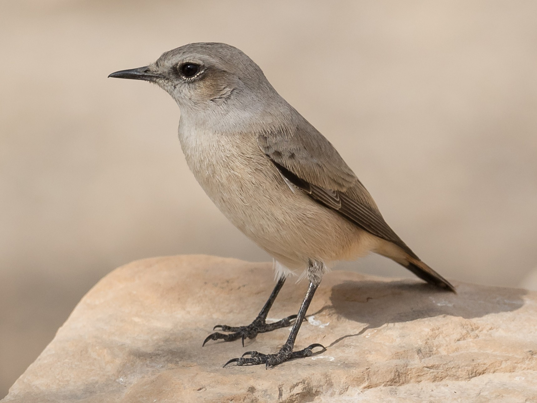 Persian Wheatear - Peter Kennerley
