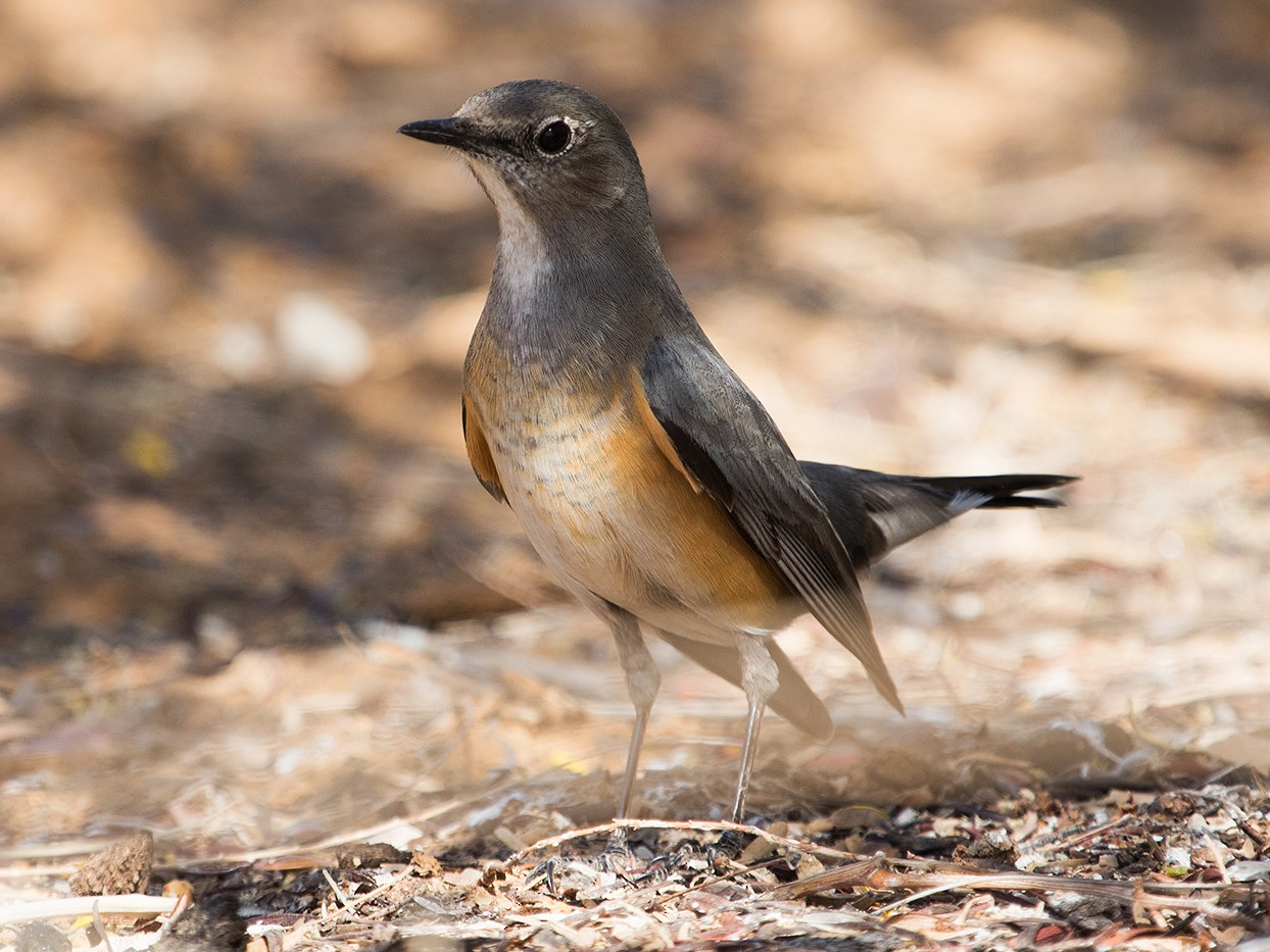 White-throated Robin - Tamir Siman-Tov