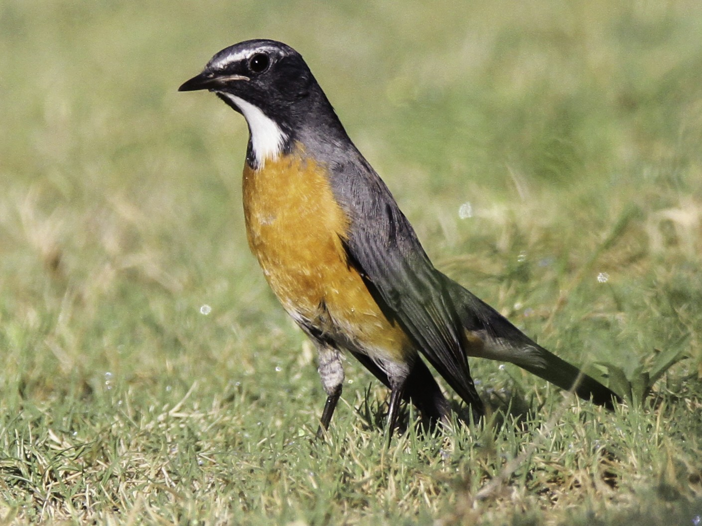 White-throated Robin - Oree Efroni Naor