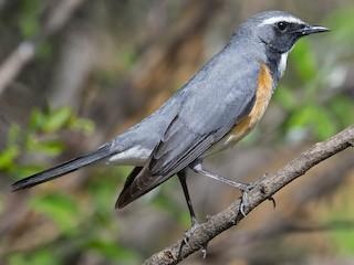 - White-throated Robin