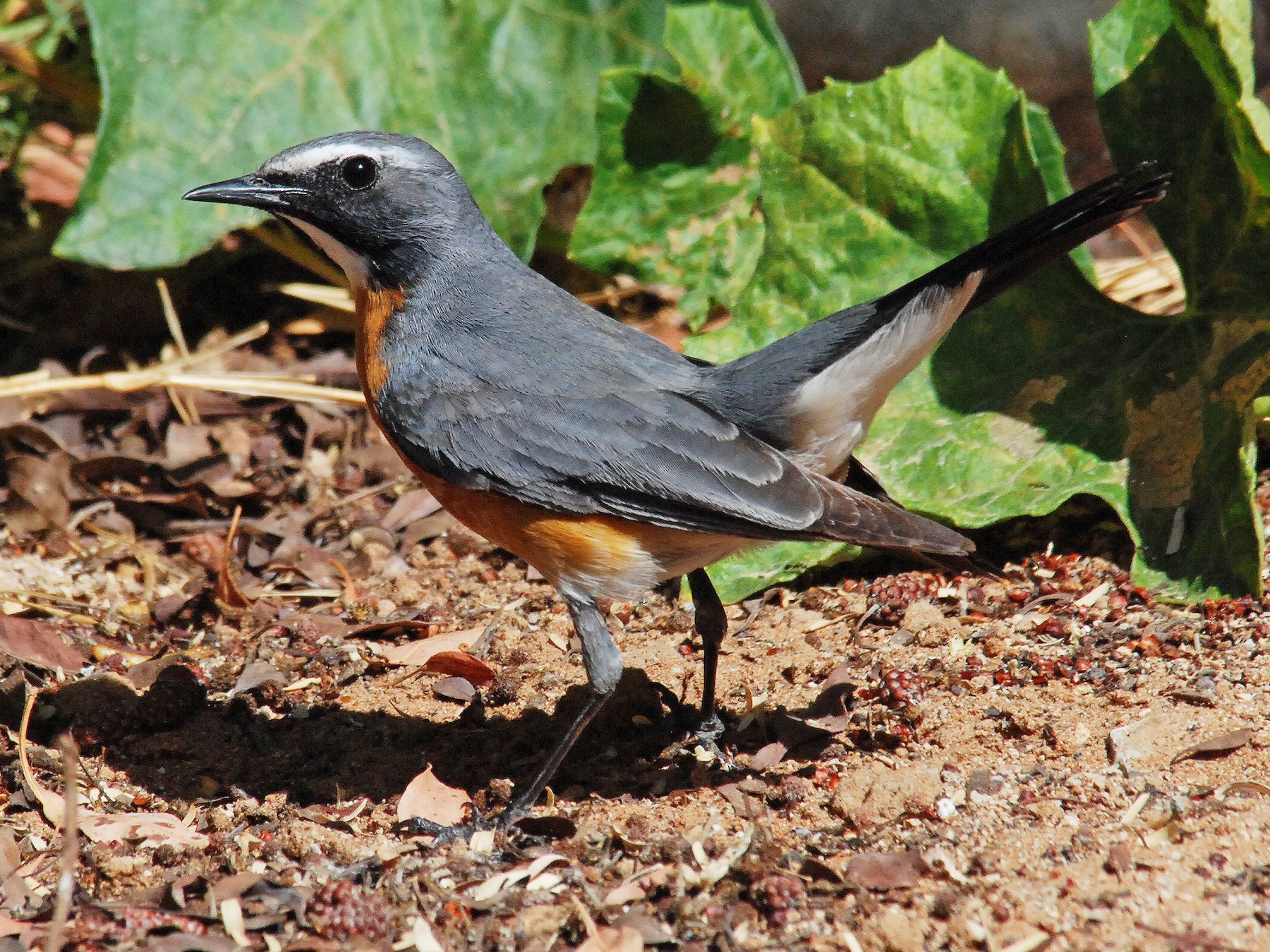 White-throated Robin - Peter Arras