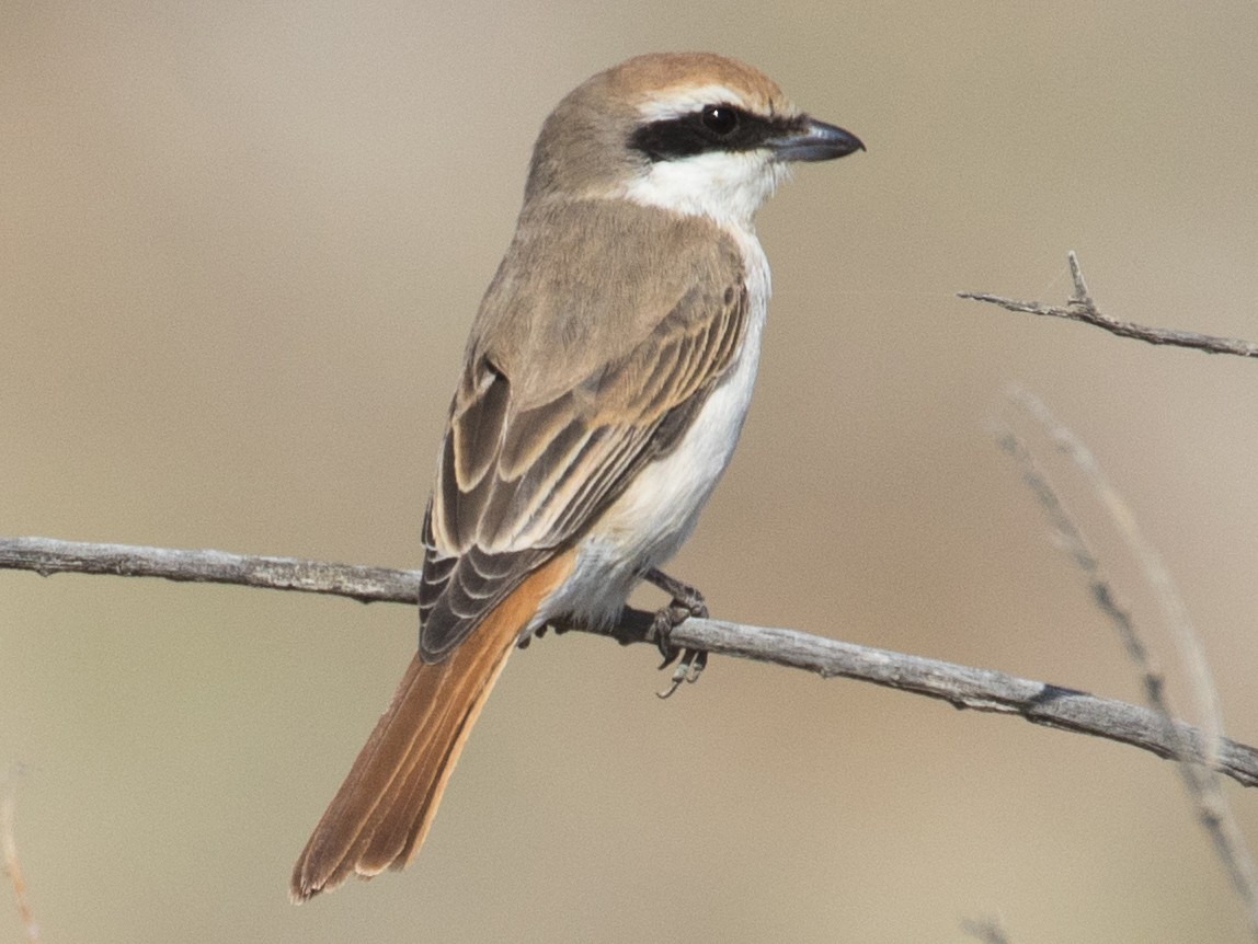 Red-tailed Shrike - James Kennerley 🦄