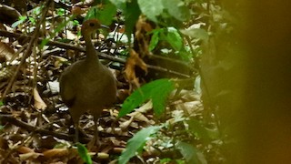 Great Tinamou, ML139507371