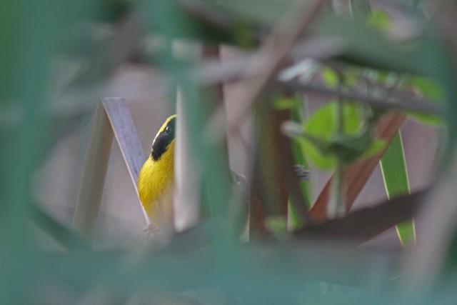 Altamira Yellowthroat