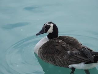 Canada Goose, ML139941591