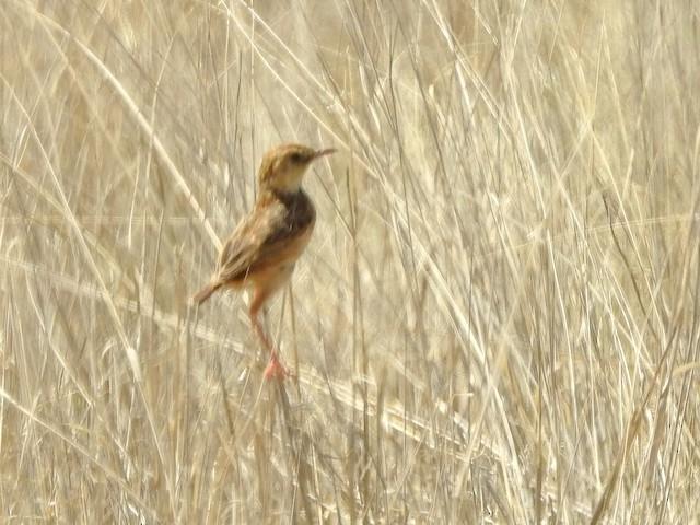 Desert Cisticola