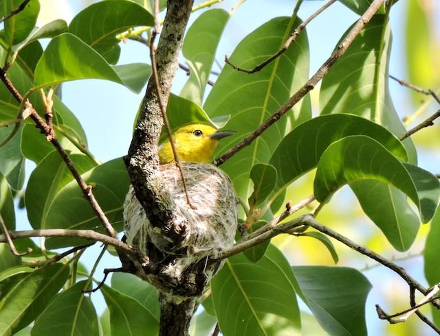 Female on nest.