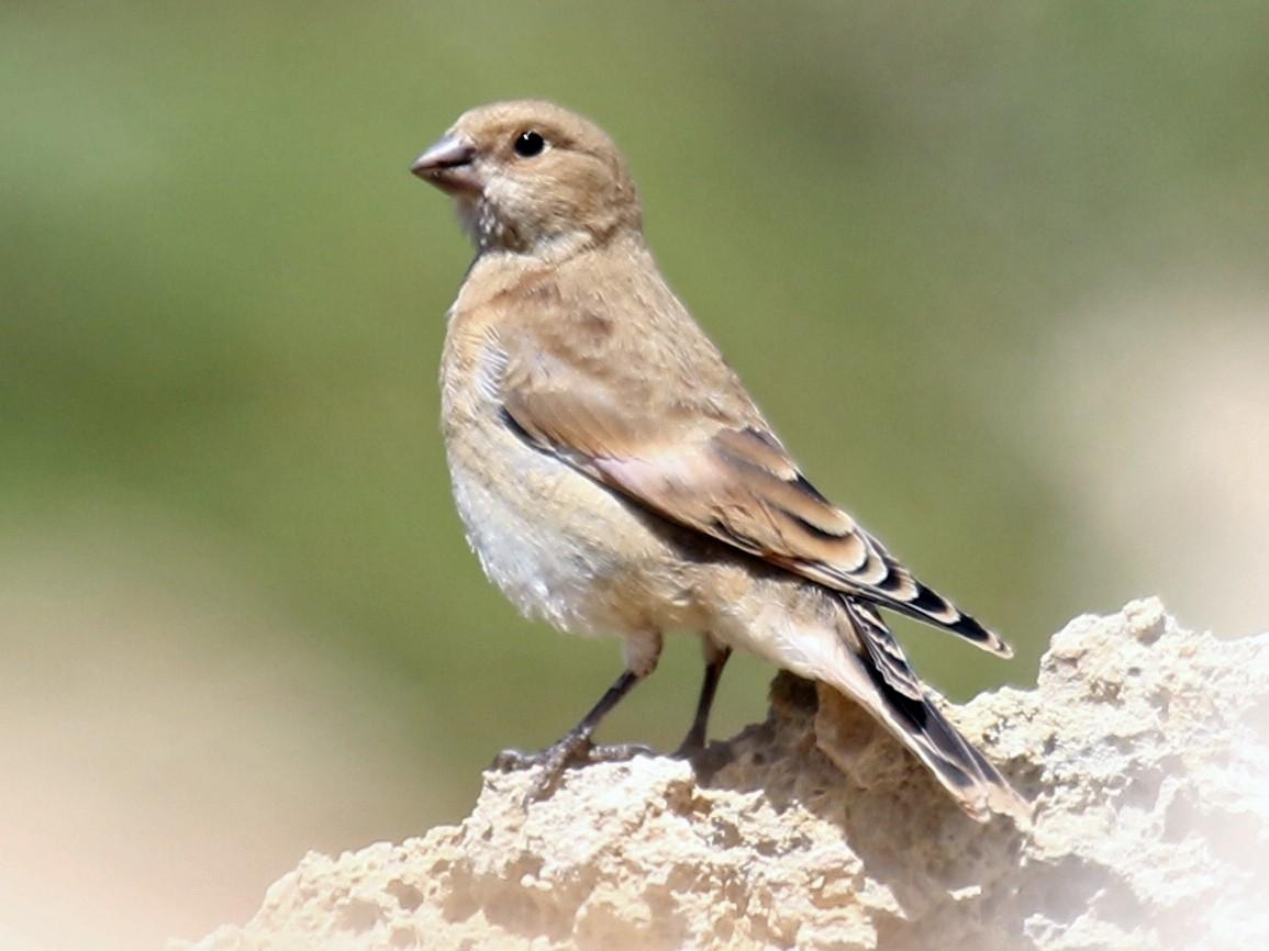 Crimson-winged Finch - Bassel Abi Jummaa