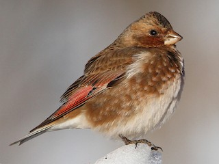 - Crimson-winged Finch (African)