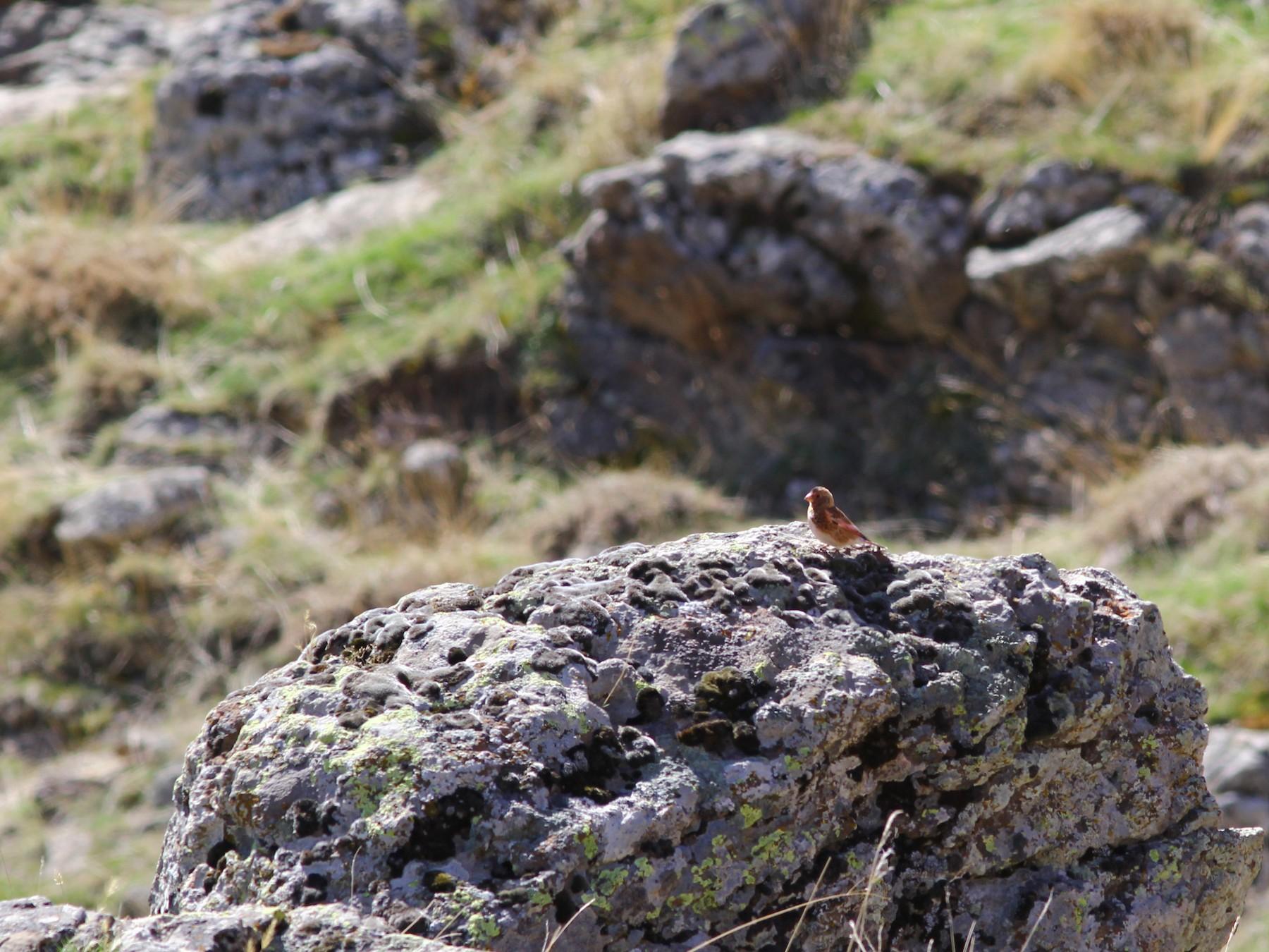 Crimson-winged Finch - Mert Can Aynur
