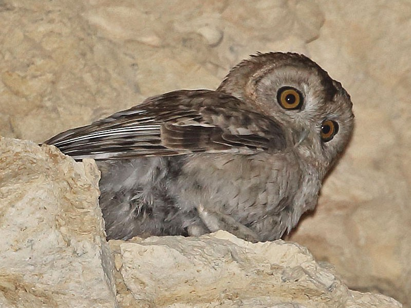 Desert Owl - Jens Eriksen
