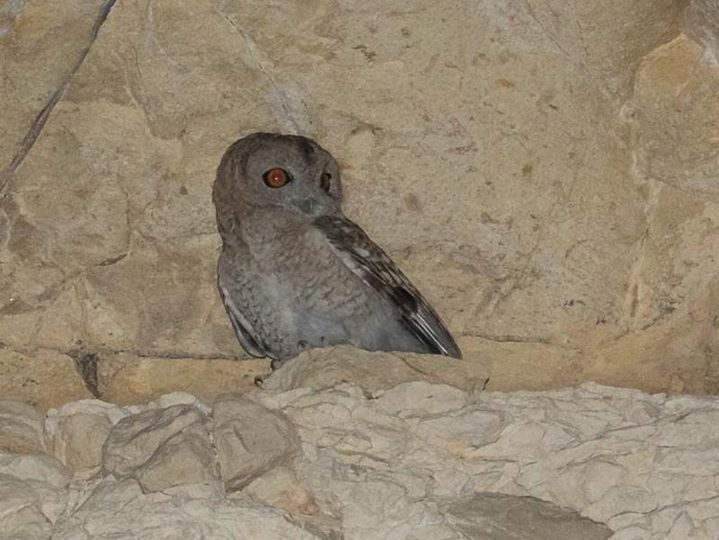 Desert Owl - James Kennerley 🦖