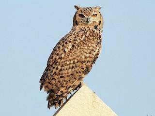 - Pharaoh Eagle-Owl