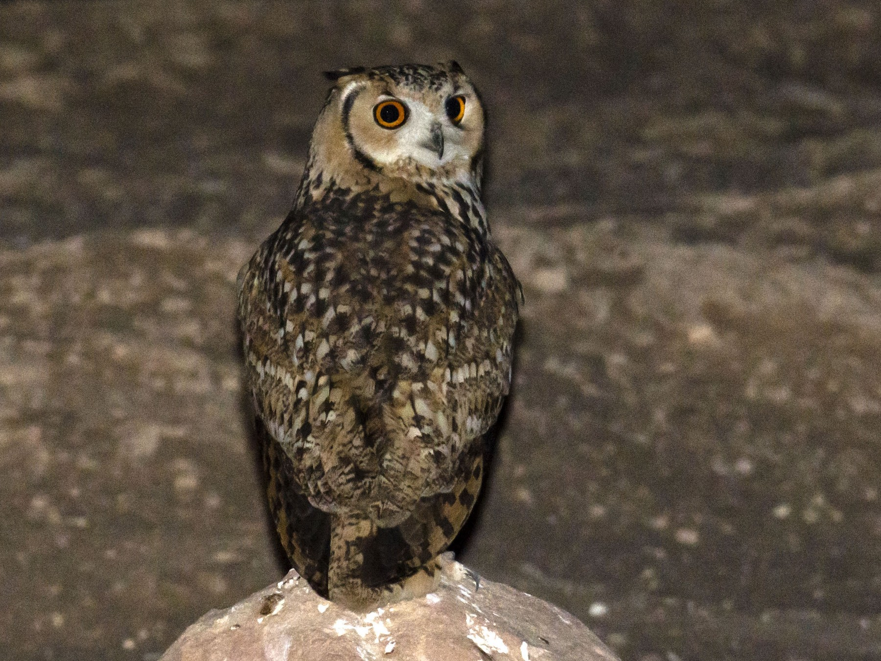 Pharaoh Eagle-Owl - Marky Mutchler