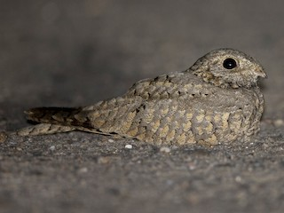 - Egyptian Nightjar
