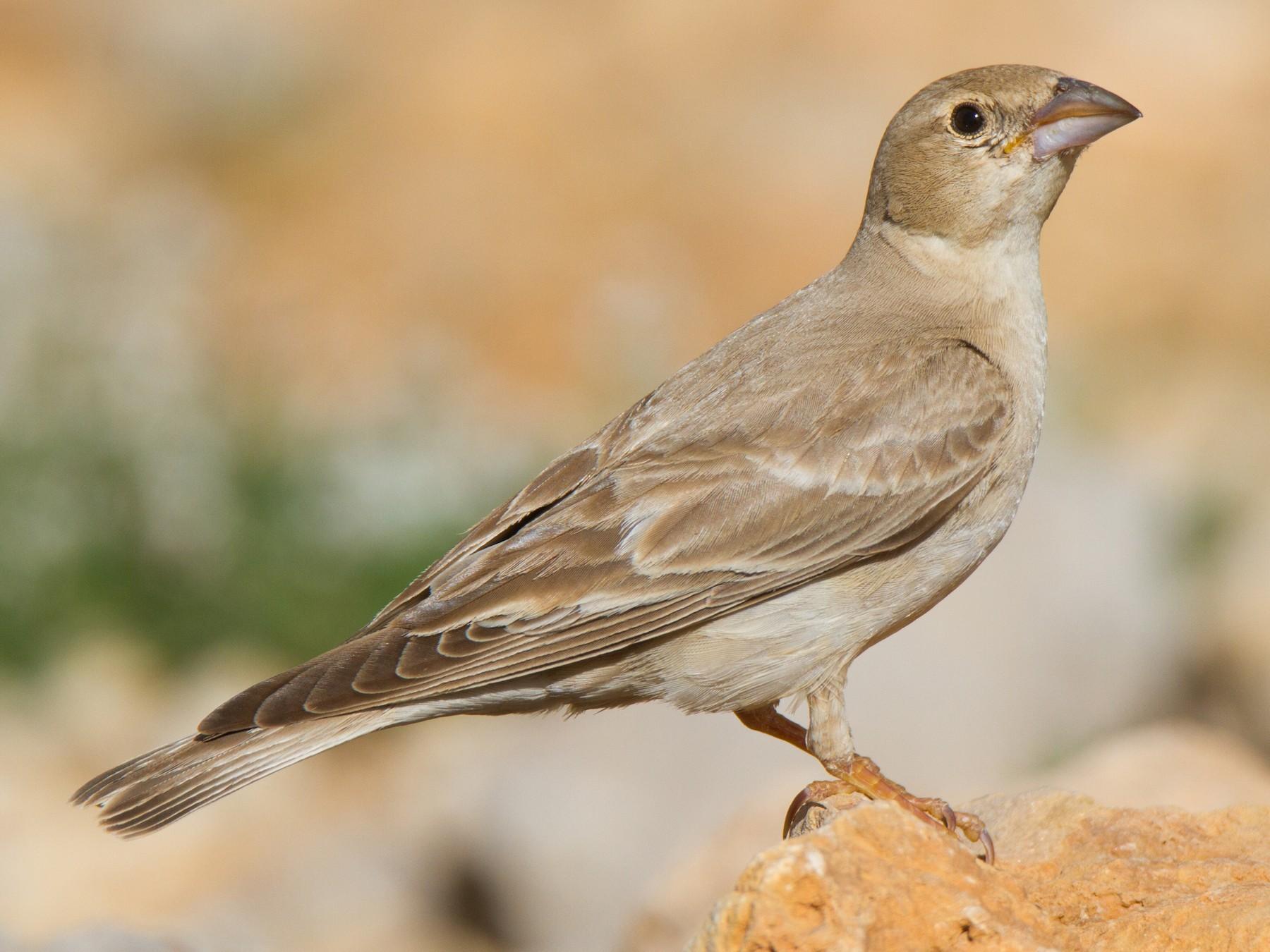 Pale Rockfinch - Oree Efroni Naor