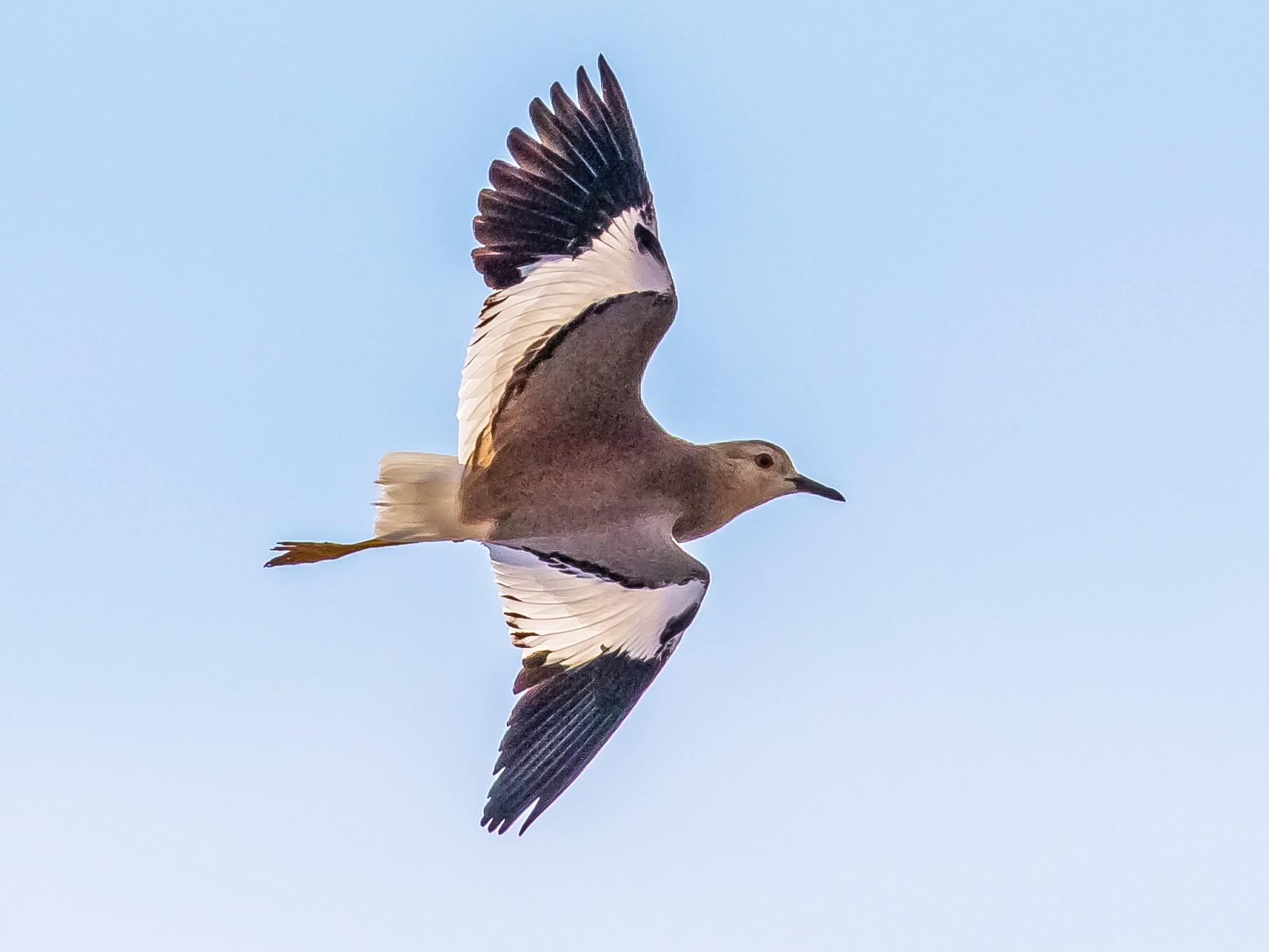 White-tailed Lapwing - Dorna Mojab