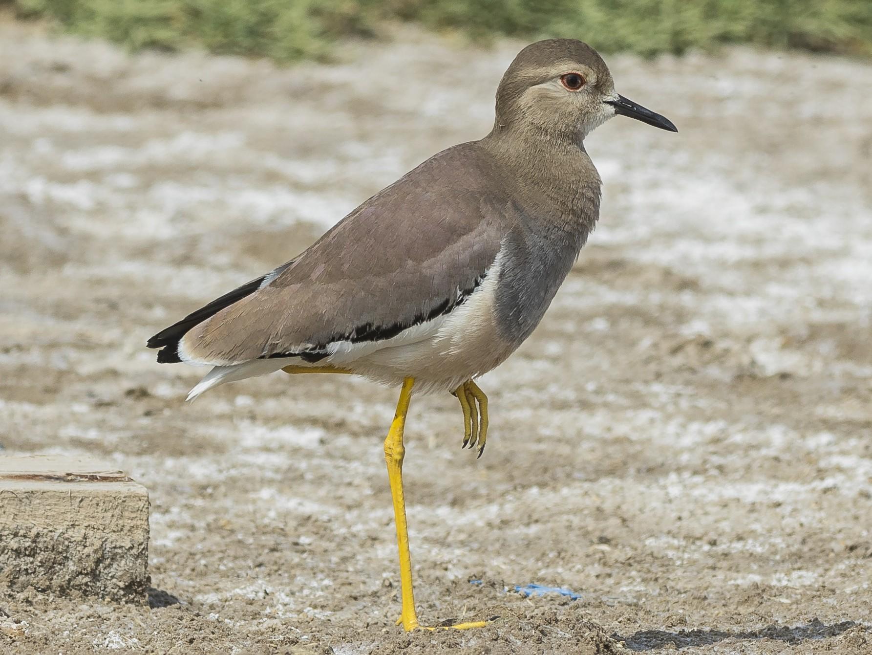 White-tailed Lapwing - Markus Craig