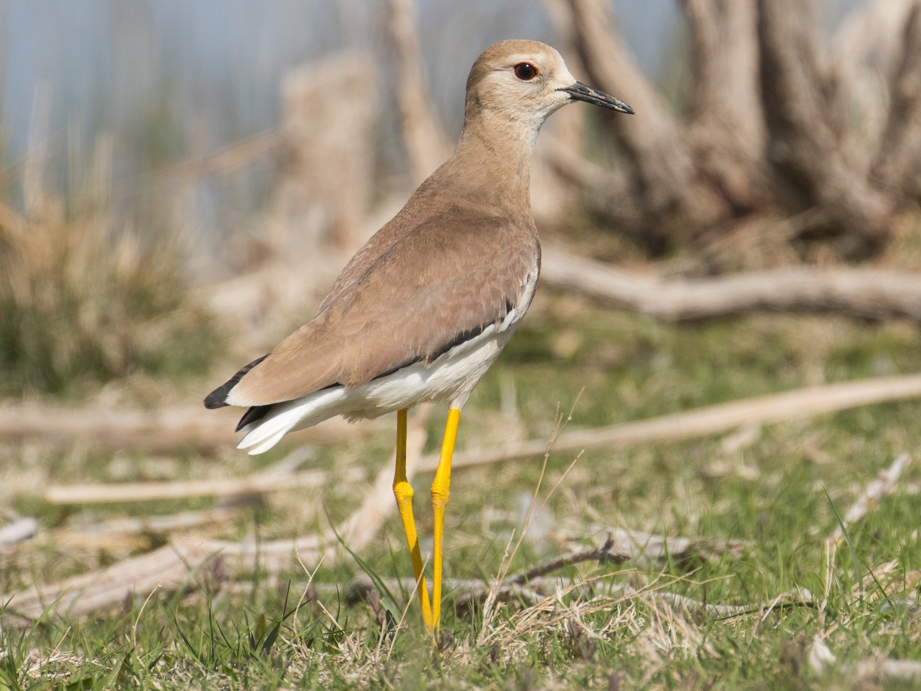 White-tailed Lapwing - James Kennerley 🦖
