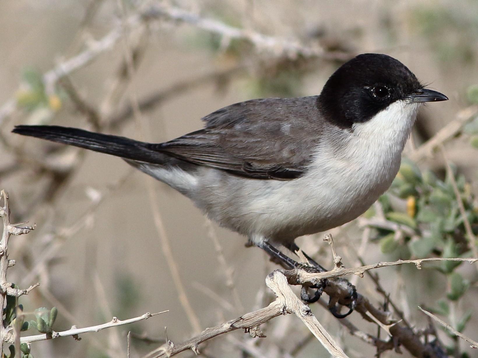 Arabian Warbler - Ohad Sherer