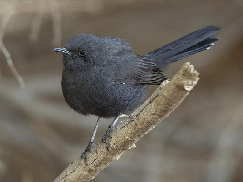 Black Scrub-Robin - Yoav Perlman