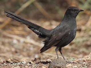 - Black Scrub-Robin