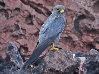 - Sooty Falcon