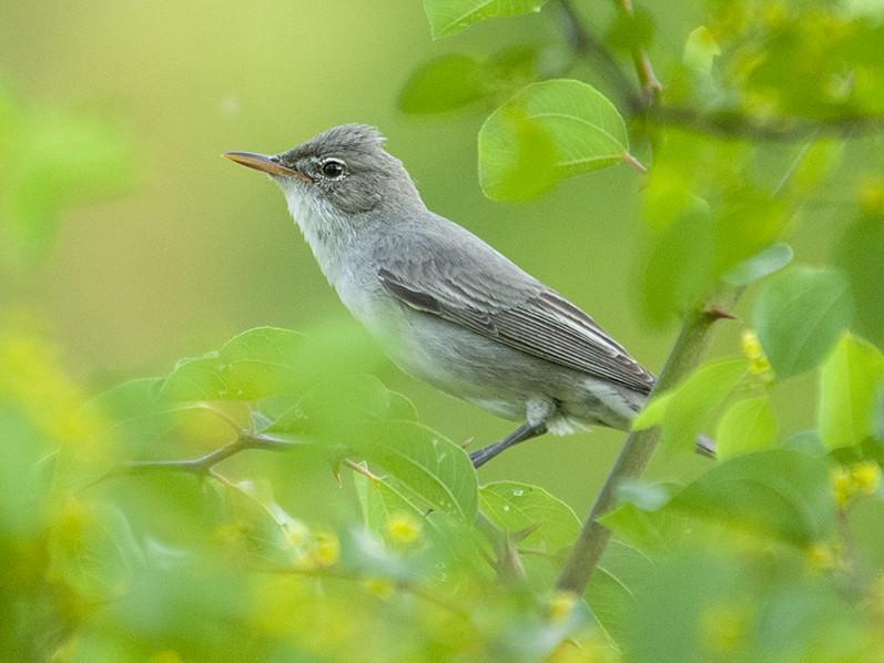 Olive-tree Warbler - Babis Tsilianidis