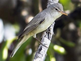 - Olive-tree Warbler