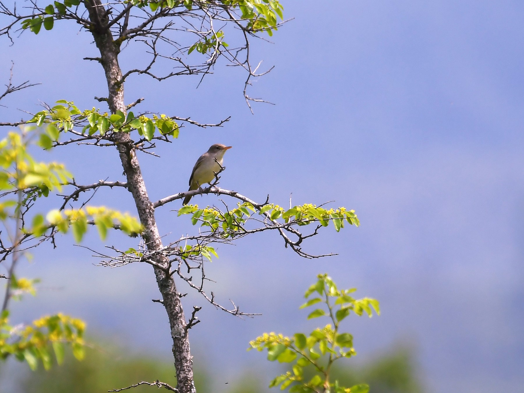 Olive-tree Warbler - Neil Wingert