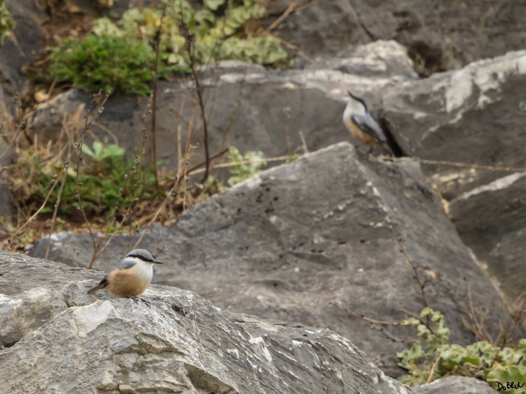 Western Rock Nuthatch - Dobrin Botev