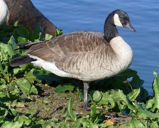 Canada Goose, ML140271141