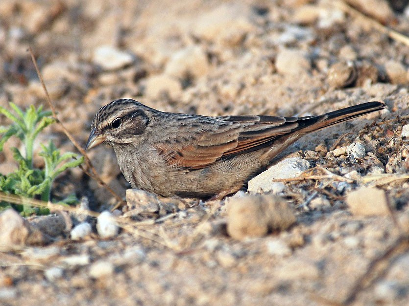 Striolated Bunting - Peter Arras